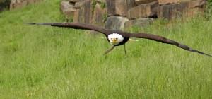 Eagle at Joppa Flats Education Center and Wildlife Sanctuary in Newburyport, MA